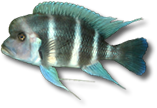 AllCichlids.com